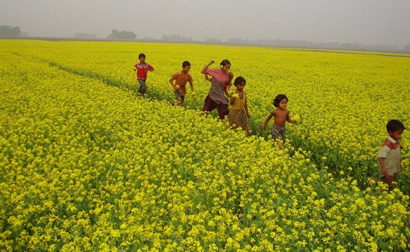 ঢাকার কাছে মানিকগঞ্জের সরিষা ফুলের রাজ্য - shajgoj.com