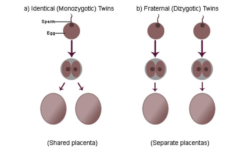 Identical ও Fraternal টুইন বেবি placenta - shajgoj.com
